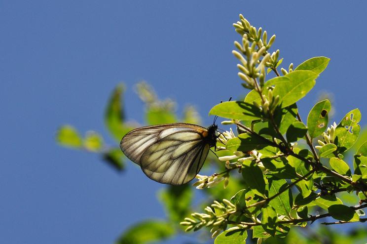 2010年想い出の蝶ランキング5位ミヤマシロチョウ_e0194952_7195832.jpg
