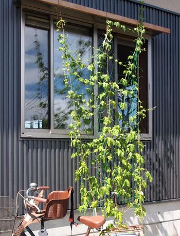 ソーラータウン西所沢の緑のカーテン_b0015157_23515681.jpg