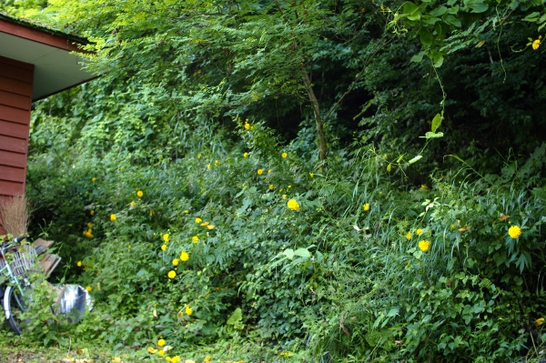 裏庭のキクっぽい花と、女神湖花火大会_c0110869_22413583.jpg