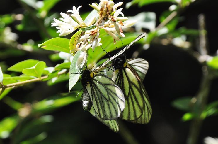 2010年想い出の蝶ランキング5位ミヤマシロチョウ_e0194952_2227592.jpg