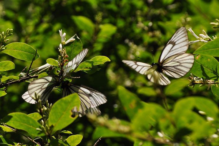 2010年想い出の蝶ランキング5位ミヤマシロチョウ_e0194952_7272135.jpg