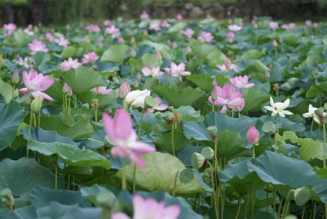Lotus Flower_d0001843_21165676.jpg
