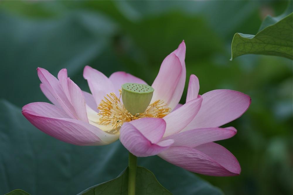 Lotus Flower_d0001843_21174655.jpg