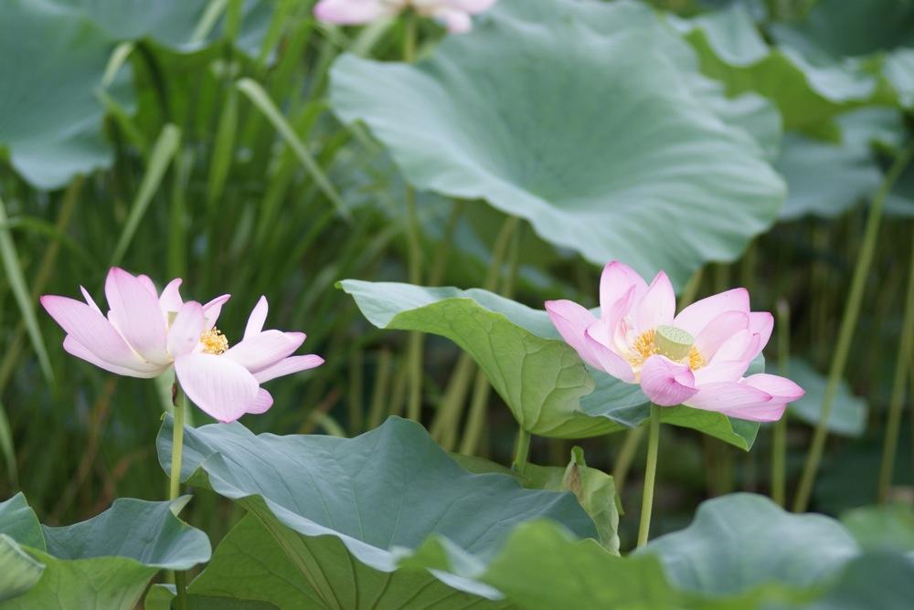 Lotus Flower_d0001843_21211045.jpg