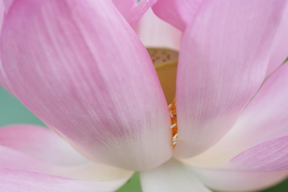 Lotus Flower_d0001843_21223183.jpg