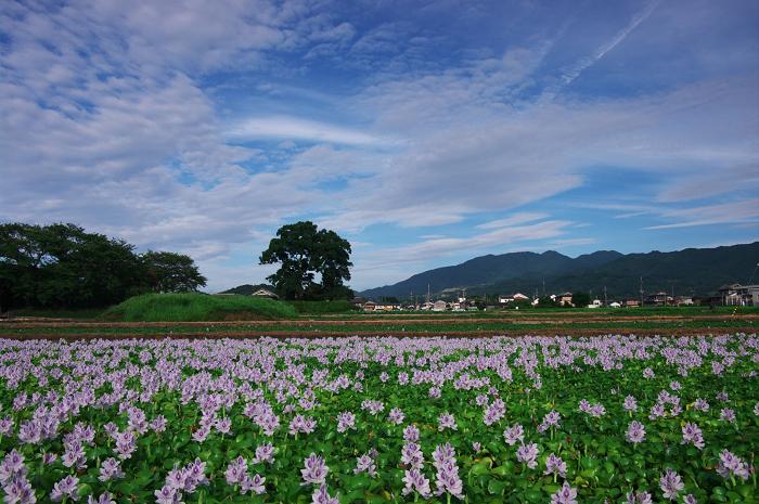 ホテイアオイの咲く風景(奈良・本薬師寺跡)_f0155048_227947.jpg