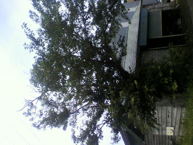 桜の木_b0106766_2317535.jpg