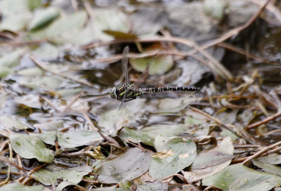ルリボシ(瑠璃星)ヤンマの飛行                 長野県・白駒の池_a0107574_14281221.jpg