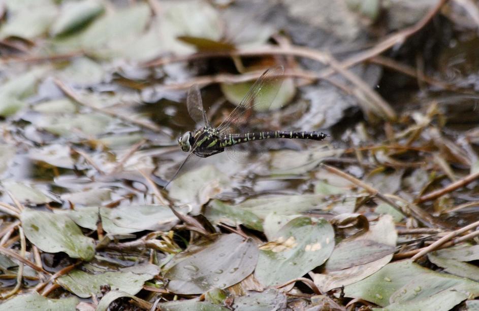 ルリボシ(瑠璃星)ヤンマの飛行                 長野県・白駒の池_a0107574_14284314.jpg