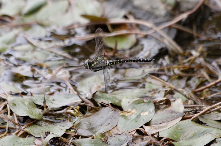 ルリボシ(瑠璃星)ヤンマの飛行                 長野県・白駒の池_a0107574_14285388.jpg