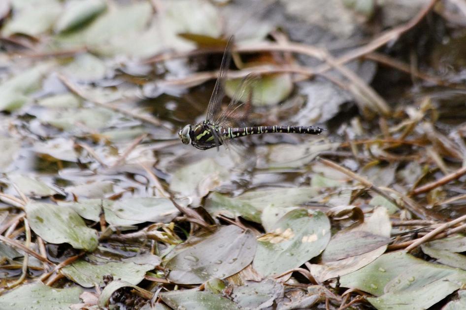 ルリボシ(瑠璃星)ヤンマの飛行                 長野県・白駒の池_a0107574_14291147.jpg