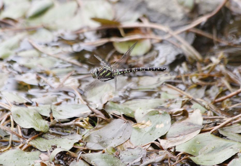 ルリボシ(瑠璃星)ヤンマの飛行                 長野県・白駒の池_a0107574_1429218.jpg