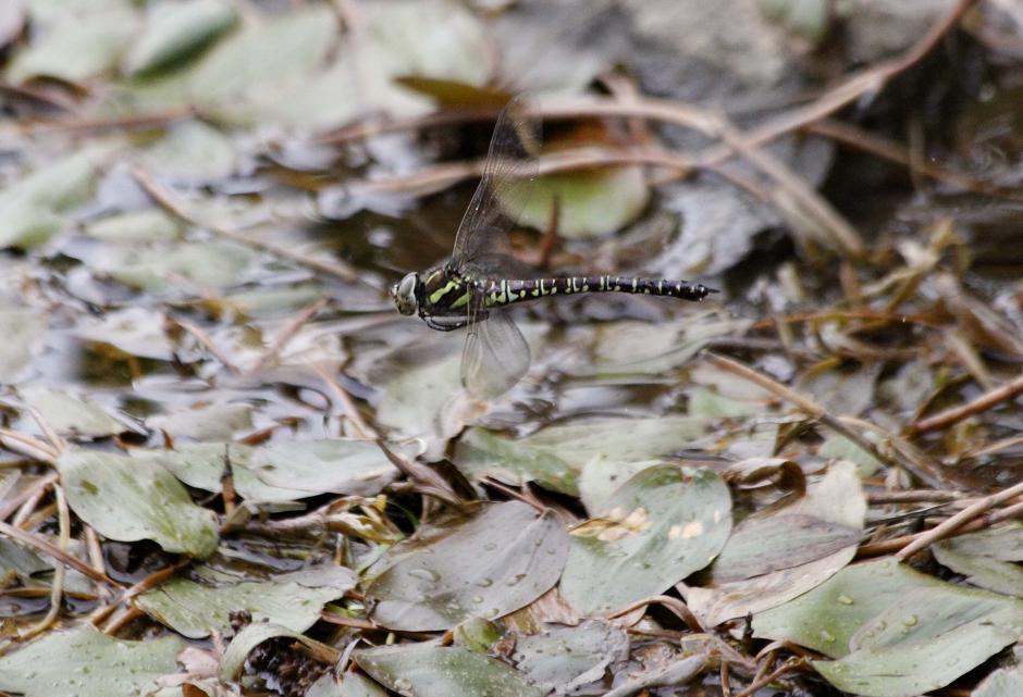 ルリボシ(瑠璃星)ヤンマの飛行                 長野県・白駒の池_a0107574_14292924.jpg