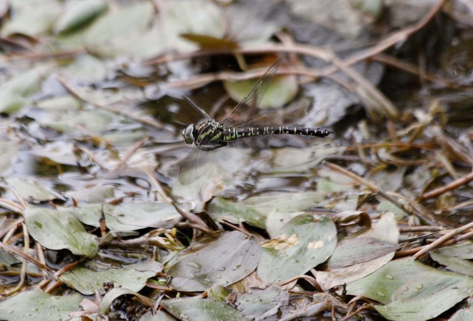 ルリボシ(瑠璃星)ヤンマの飛行                 長野県・白駒の池_a0107574_14294068.jpg