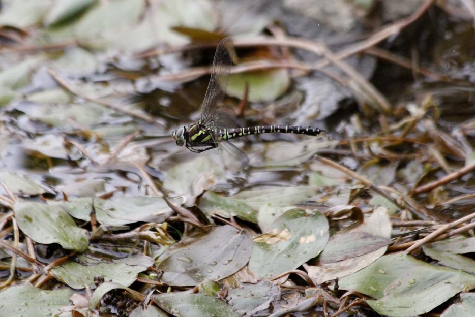 ルリボシ(瑠璃星)ヤンマの飛行                 長野県・白駒の池_a0107574_14294929.jpg