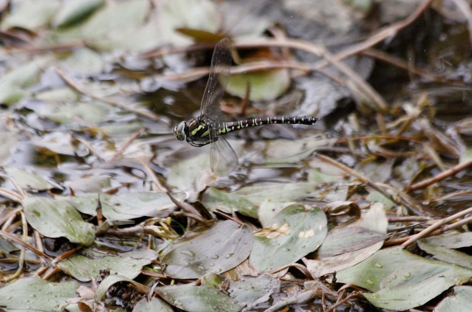 ルリボシ(瑠璃星)ヤンマの飛行                 長野県・白駒の池_a0107574_14301427.jpg