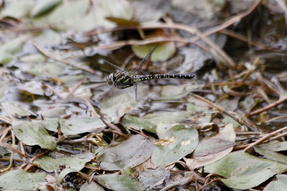 ルリボシ(瑠璃星)ヤンマの飛行                 長野県・白駒の池_a0107574_1430370.jpg
