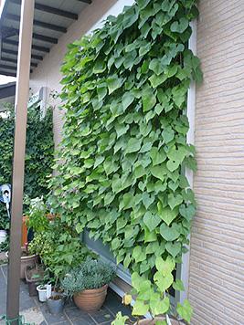 緑のカーテン、来年に向けての改善点_d0020309_16392660.jpg