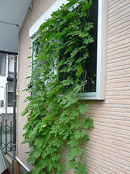 緑のカーテン、来年に向けての改善点_d0020309_1639573.jpg