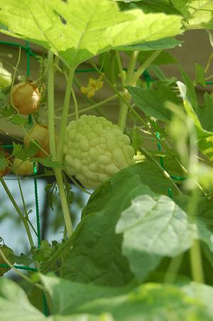 初収穫のゴーヤ_e0071324_16201243.jpg