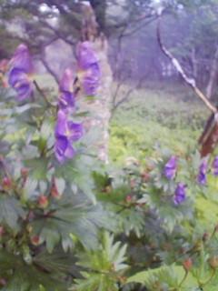 とりかぶと(シコクブシ)が咲いたようです_c0089831_6252622.jpg