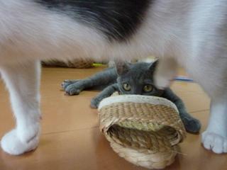 猫のお友だち 銀くん こちびちゃん編。_a0143140_21332653.jpg