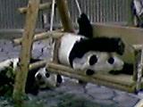 双子のパンダちゃん 誕生おめでとう by パンダ_b0096957_0512459.jpg