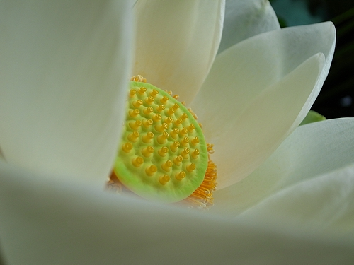 白い蓮_e0168232_23553442.jpg