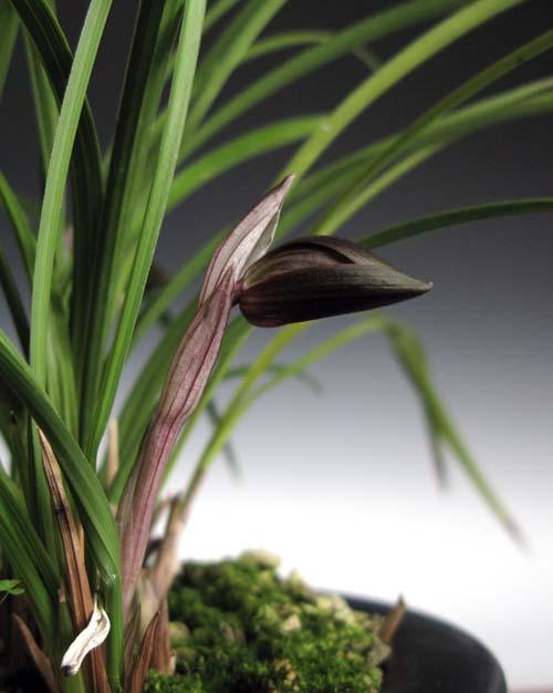 中国奥地蘭「朶朶香紫花A」              No.850_d0103457_1293657.jpg