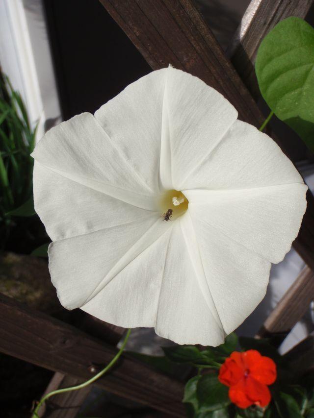 ついに出た真っ白なアサガオ_c0025115_20444186.jpg