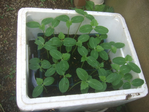 秋野菜の準備開始......種まき!_b0137932_452491.jpg