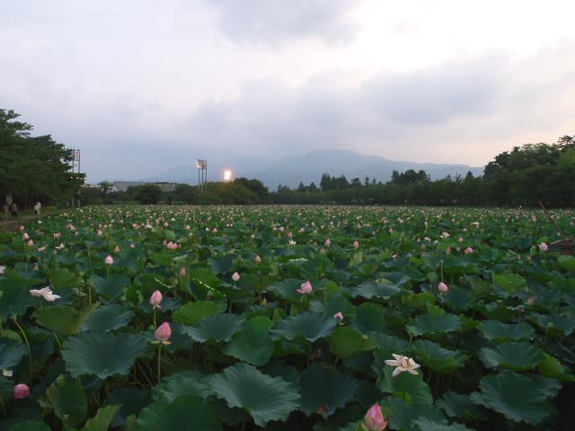 故郷の風景 高田公園の蓮_f0024992_952796.jpg