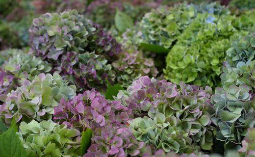 秋色紫陽花(Violet Blue)&秋色アナベル生花販売予約受付を開始♪_c0127703_20484358.jpg