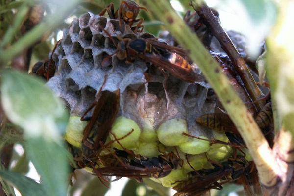 キボシアシナガバチが棲みつきました_b0025008_229202.jpg