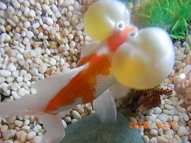 金魚_e0155771_053227.jpg