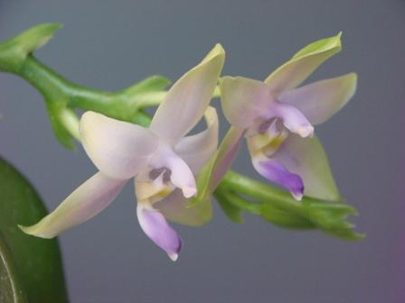 Phal.violacea f.coerulea×sib_d0007501_1321142.jpg