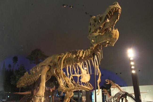 恐竜図鑑#5 タルボサウルス・バタール_f0229508_1614263.jpg