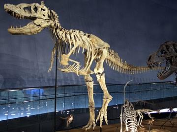 恐竜図鑑#5 タルボサウルス・バタール_f0229508_16144465.jpg