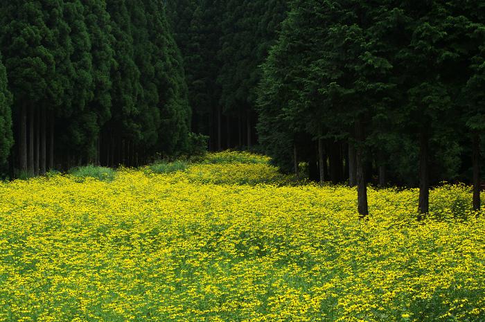 京都・花畑シリーズその1(花脊・オオハンゴンソウ)_f0155048_10334179.jpg