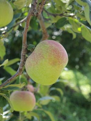 りんご狩りと三内丸山遺跡_e0158653_2314985.jpg
