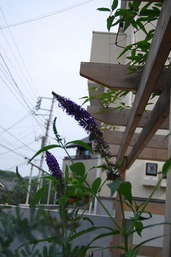 紫と白のブッドレア_c0124100_0332215.jpg