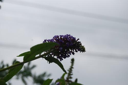 紫と白のブッドレア_c0124100_033417.jpg