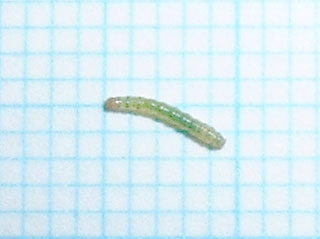 スペアミントの鉢植えで発見しました_b0025008_22255695.jpg