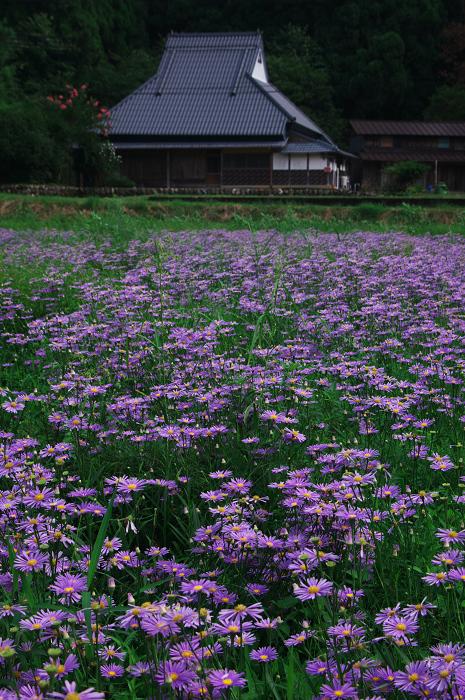 京都・花畑シリーズその2(久多・北山友禅菊)_f0155048_2115421.jpg