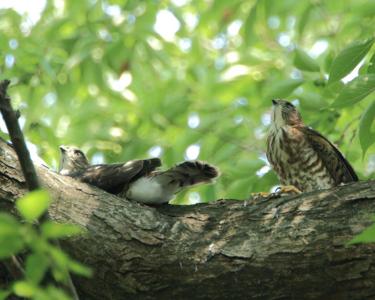 ツミ若鳥2羽元気でした。_f0105570_23135618.jpg