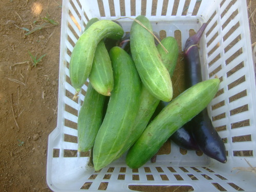 チャレンジです....秋野菜植えてみました。_b0137932_19141760.jpg