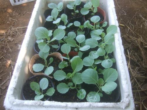 チャレンジです....秋野菜植えてみました。_b0137932_1995130.jpg