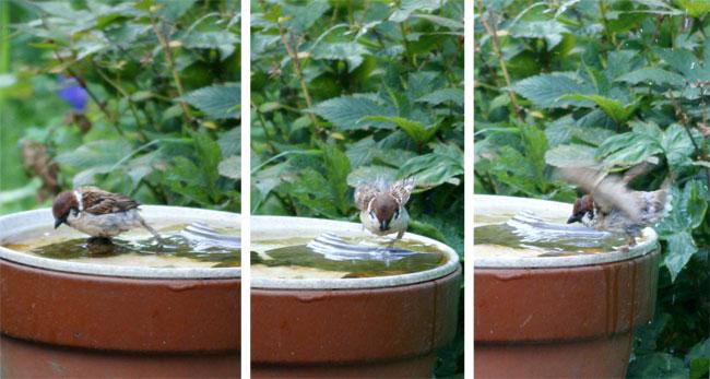 水場の雀^^ 久々に片足の雀ちゃんも♪_a0136293_14365772.jpg