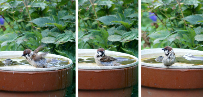 水場の雀^^ 久々に片足の雀ちゃんも♪_a0136293_1437107.jpg