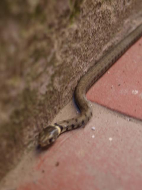 びびっくり!!赤ちゃん蛇を発見!!_c0179785_6221717.jpg